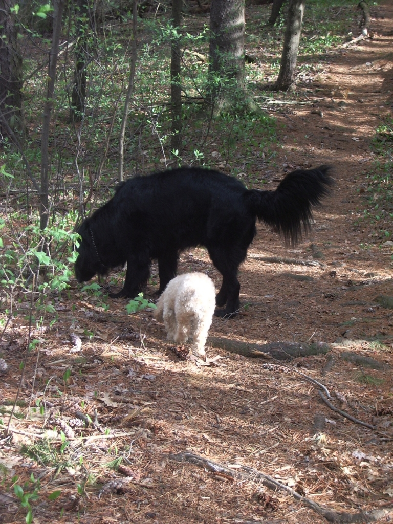Carmeli and McLane enjoying sniffing in the woods - Manchester Veterinary Clinic - CT