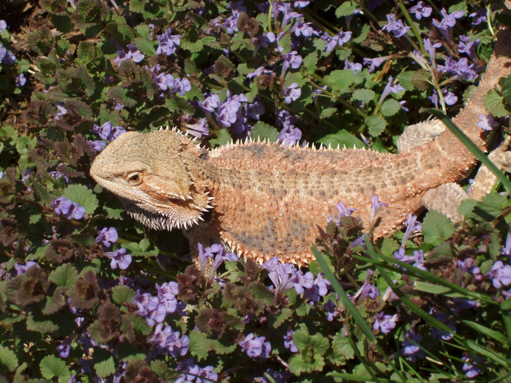 Manchester Veterinary Clinic - CT - One of Erika's Bearded Dragons